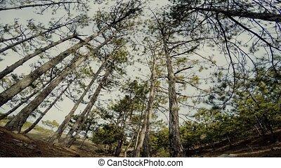 trees, лес, сосна