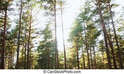 trees, сосновый лес, выращивание, хвойный