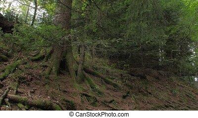 trees, хвойный, высокий, лес