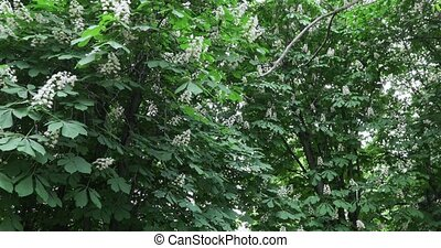 Trees and flowers of chestnut - Flowering chestnut trees in...