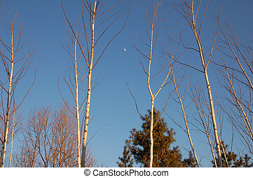 Trees and Moon