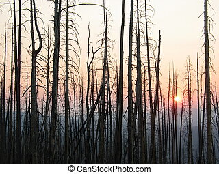 Trees at sunset after a wildfire - Burnt trees at sunset ...