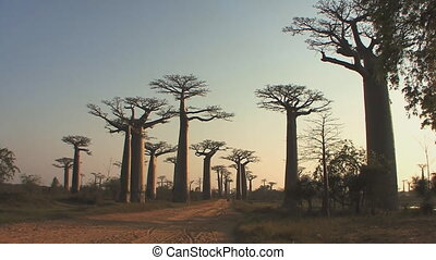 Trees baobabs in Madagascar