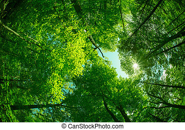 ... Trees - Beautiful canopy of trees looking upwards & Canopy trees Images and Stock Photos. 9467 Canopy trees ...