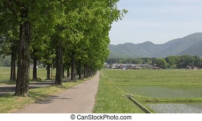 Trees beside rice field - Lined dawn redwood trees beside...
