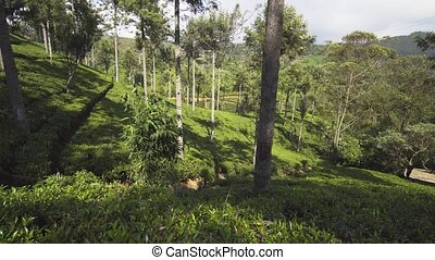 Trees Cast Shade over Tea Plantation in Nuwara Eliya, Sri ...