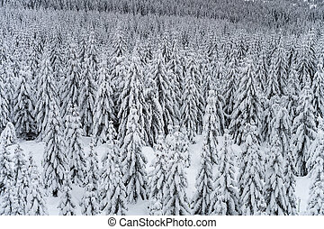 Trees covered by snow. Winter in mountain forest.