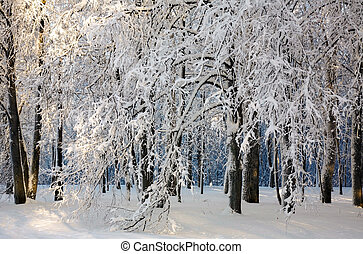 Trees covered with fluffy snow in winter forest
