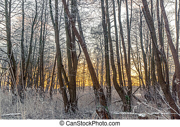 Trees covered with frost in a forest