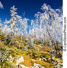 hoarfrost - Trees covered with hoarfrost and snow in...