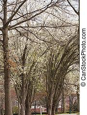 Trees Flowering in Spring by Road