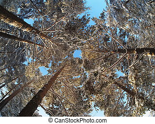 trees from the bottom up in a pine forest in winter