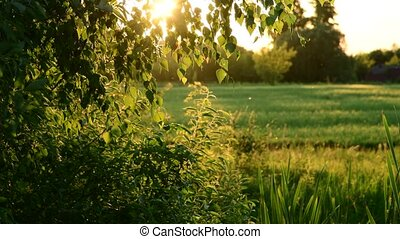 trees, grass, gnats in rays of the setting sun - trees,...