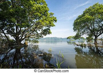 Trees growing from lake shallow - Japanese alder (Alnus...