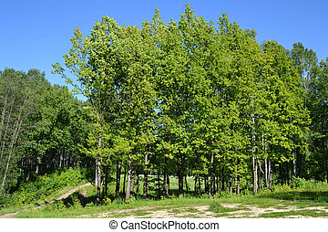 Trees in a summer forest.