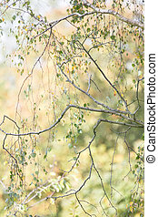 Trees in autumn detail - Silver birch tree branches and...