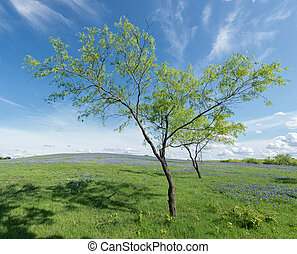 Trees in Bluebonnet Field, Texas, USA