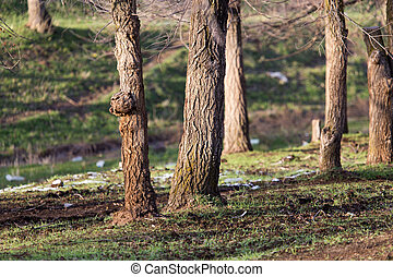 trees in early spring in nature