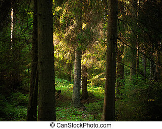 Trees in evening light - Evergreen trees in beautiful...