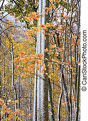 Trees in Fall with Snow