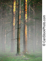 Trees in foggy cold morning - Pine trees in wilderness area ...