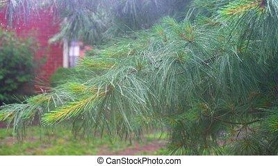 heavy rain Thuja tree