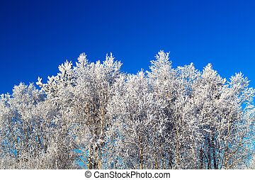 Trees in hoarfrost