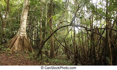 Trees In Rain Forest - Rain Forest, South America, Peru