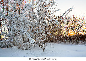 trees in snow and sun