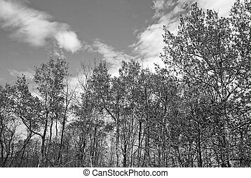 Trees in spring in black and white