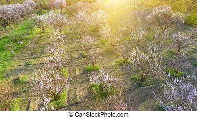 trees in springtime. sunshine light. flying. aerial view.