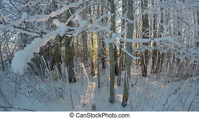 trees in sunset in winter evening