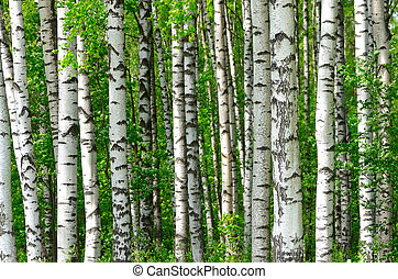 Trees in the birch wood in a spring