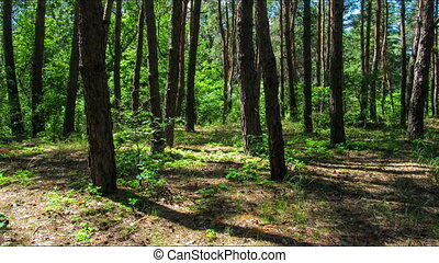 Trees in the coniferous forest, the shadow of pine trees moving in the woods.