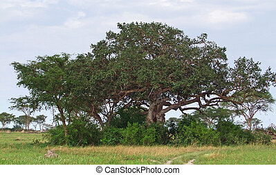 trees in the Queen Elizabeth National Park