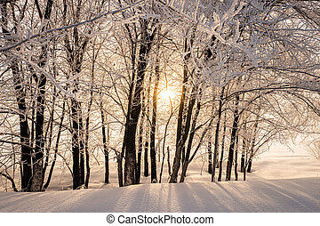 Trees in the snow in the rays of sunlight.