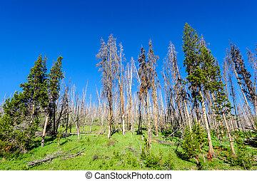 Trees in Yellowstone