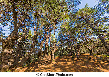 trees of Al Shouf Cedar Nature Reserve Barouk Lebanon - ...