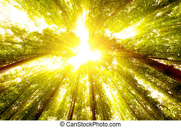 Trees - Tall trees, bright sun.