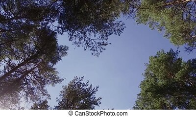 Trees view from below on the crowns and the blue sky. sunny day