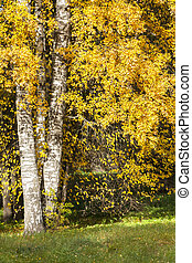 Trees with colorful yellow leaves in autumn