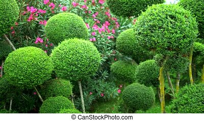 trees with green foliage in beautiful rounded shapes. with...