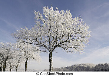 Trees with hoarfrost in Germany