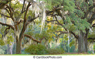 Trees with spanish moss hanging down off of the branches