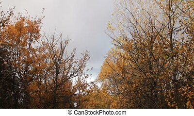 Trees with yellow leaves in autumn
