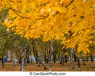 Trees with yellow leaves in the city park on autumn day