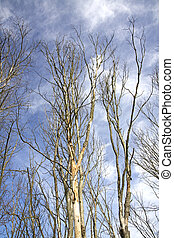 trees without leaves on blue sky