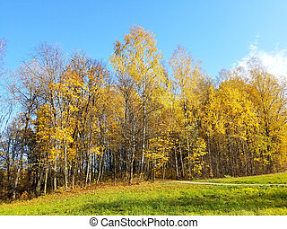 trees yellow leaves in autumn on blue sky background