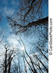 Treetops - Bare, leafless treetops in a sunshine