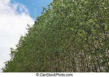 Treetops - Cottonwood treetops against the sky, Palouse,...